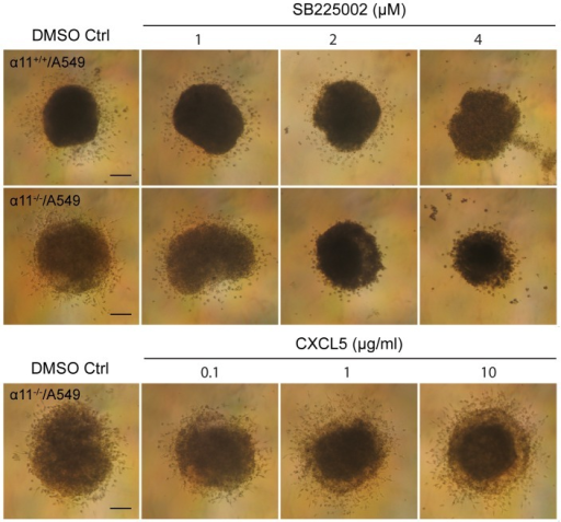 CXCL5 regulates heterospheroid invasion in 3D collagen gels.Six-day-old spheroids were embedded in 3D collagen gels (1 mg/ml collagen type I) in the presence of DMSO (control) or different concentrations of the CXCL5 receptor inhibitor SB225002 (upper graph) or recombinant CXCL5 (lower graph). Six spheroids were imbedded into the collagen gels under each condition. Invasion of the cells from the spheroids into the collagen gels was observed under an inverted phase contrast microscope and photographed after 48 h. Size bar  = 100 µm.