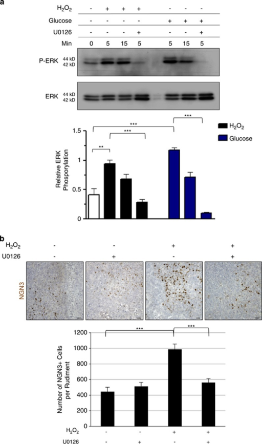Activation of ERK1/2 phosphorylation by H2O2 is required for the proper development of β-cells. (a) E13.5 rat pancreases were cultured for 0, 5, or 15 min with or without 50 μM H2O2 in association or not with U0126. Glucose 20 mM was used as a positive regulator of ERK1/2. Protein extracts from cultured pancreases were analyzed by western blot to quantify P-ERK1/2. Total ERK is used as loading control. Relative ERK Phosphorylation was also quantified for each condition. (b) E13.5 rat pancreases were cultured with or without H2O2 at 50 μM, in association or not with the ERK1/2 inhibitor U0126. For each condition, NGN3 expression (in brown) was detected by immunohistochemistry and the number of NGN3+ cells was quantified. Each point represents the mean±S.E.M. of three individual data pools. Scale bar: 25 μm. *P<0.05; **P<0.01, ***P<0.001