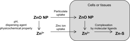 Putative biological fates of zinc oxide (ZnO) nanoparticles (NPs) in cells or tissues.Notes: ZnO nanoparticles are dissolved in biological fluids, a process that is highly dependent on the pH environment and particle size and surface characteristics of nanoparticles, and the presence of other organic compounds or dispersing agents. After being taken up by cells or tissues as particulate and/or ionic forms, nanoparticles are further dissolved, and zinc ions are then complexed by organic ligands, eg, generating Zn2+ ligated by thiol group.
