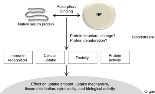 Schematic illustration of nanoparticle–serum protein interaction and possible consequences.Notes: Serum protein adsorbed on (or bound to) the surface of nanoparticles (NPs) may facilitate immune recognition (uptake and elimination by immune cells) or cellular uptake. Protein conformational changes as a consequence of nanoparticle–protein interaction could cause undesirable toxicological effects or decrease biological activity. Uptake amount, uptake mechanism, and target-organ distribution of nanoparticles can also be influenced by nanoparticle–protein corona.