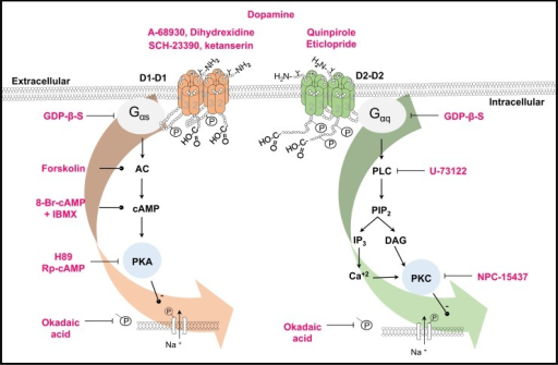 Scheme of the signaling pathways activated by D1- and D2-like receptors in the spiral ganglion neurons.Receptors are shown as homodimers. Phosphorylation and glycosylation sites are indicated (P and Y). The drugs used in this work are shown in red. Lines with transverse-endings indicate blockade and those with circle-endings stimulation. D1-like receptors are coupled to a Gαs protein leading to AC stimulation, thus increasing cAMP levels and subsequent PKA activation. PKA phosphorylates the Na+ channels thus decreasing the INa. D2-like receptors are coupled to a Gαq protein whose activation stimulates the PLC, which cleaves PIP2 into IP3 and DAG, the IP3 increases the Ca2+ concentration, and both Ca2+ and DAG activates PKC leading also to a Na+ channel phosphorylation thus decreasing the INa. In both cases, phosphorylation was prevented by okadaic acid.