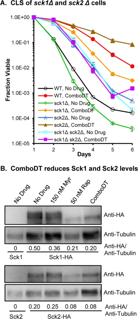 Both Sck1 and Sck2 are required for lifespan enhancement by ComboDT.(A) The effect of drugs on CLS are shown for WT, sck1Δ, sck2Δ and sck1Δ sck2Δ double mutant cells. (B) The effect of drugs on TORC1-regulated phosphorylation of HA-tagged Sck1 and Sck2 was examined by immunoblotting. Numbers below each lane indicate the ratio of the Anti-HA signal to the Anti-Tubulin signal, which served as a protein loading control. This experiment was performed twice with duplicate cultures and similar results were observed each time.