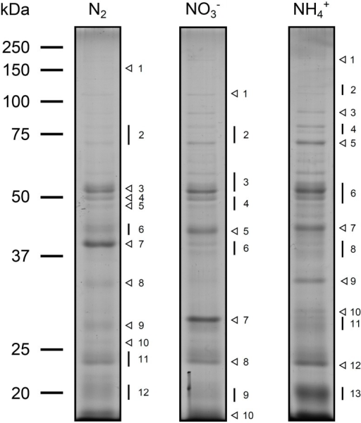 Exoproteome profiles of Anabaena sp. PCC 7120 cultivated under various growth conditions. Wild-type cells of Anabaena sp. PCC 7120 were grown in nitrogen-fixing conditions (N2) or in medium supplemented with nitrate (NO3−) or ammonia (NH4+). The protein content present in 5 mL of each cell-free growth medium was separated by SDS-polyacrylamide gel electrophoresis and the exoproteomes visualized by Coomassie Blue staining. Bands and gel areas selected for in-gel trypsin digestion and further protein identification by mass spectrometry are highlighted on the right of each panel by arrowheads and lines, respectively. Proteins identified in each band and the gel portion are listed in the Supplementary Information. The molecular masses of the Precision Plus Protein All Blue standard (Bio-Rad, Hercules, CA, USA) are indicated on the left.