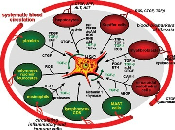 Network of resident liver cells (red) and inflammatory non-liver resident cells (black) with hepatic stellate cells in the process of activation and transdifferentiation to myofibroblasts. Major molecular mediators are indicated. The influx of inflammatory and immune competent cells from the circulation into the damaged liver tissue is illustrated. Secreted products of resident liver cells leading to biochemical changes in blood of liver fibrotic patients are exemplified. Abbreviations: AcAld, acetalde-hyde; α2M, α2-macroglobulin; CTGF, connective tissue growth factor; EGF, epidermal growth factor; ET-1, endothelin-1; HNE, 4-hydroxynonenal; HSC, hepatic stellate cells; ICAM-1, intercellular adhesion molecule-1; IGFBP, IGF-binding proteins; ROS, reactive oxygen species; VEGF, vascular endothelial growth factor.