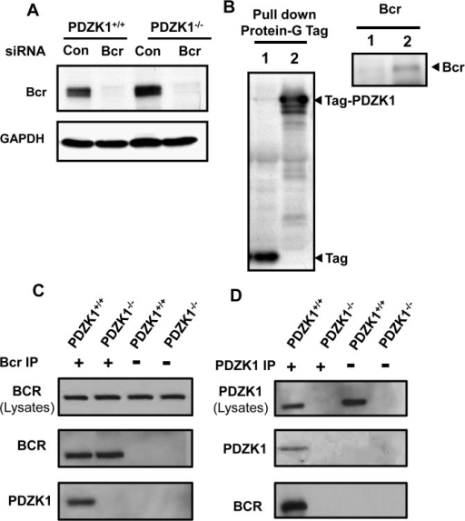 Bcr is expressed in VSM cells and interacts with PDZK1.A. PDZK1+/+ or PDZK1-/- VSM cells were transfected with control dsRNA (Con) or dsRNA targeting Bcr, and Bcr expression was evaluated by immunoblot analysis 24h later. B. Wild-type VSM cells were infected with adenovirus expressing protein G sequence-containing Tag alone (lane 1) or Tag-PDZK1 (lane 2), and 60h later the cells were lysed and Tag or Tag-PDZK1 were precipitated using IgG sepharose. Tag and Tag-PDZK1 were detected by HRP-linked secondary antibody binding to the Protein G sequence in the Tag (left panel). The pull-down of Bcr was detected by immunoblotting of samples from Tag-PDZK1 infected cells (right panel). C. Endogenous Bcr was immunoprecipitated from PDZK1+/+ or PDZK-/- VSM cells by anti-Bcr antibody, and the presence of Bcr and PDZK1 in the immunoprecipitates was detected by immunoblotting. D. Endogenous PDZK1 was immunoprecipitated by anti-PDZK1 antibody, and Bcr and PDZK1 in the immunoprecipitates was detected by immunoblotting.