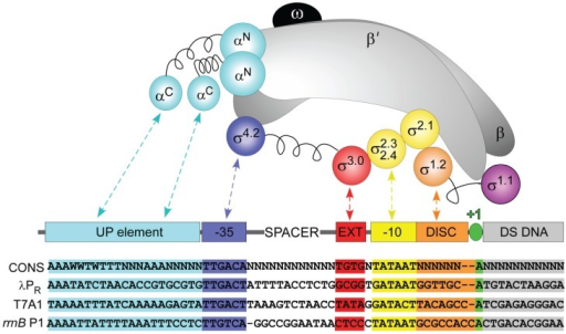 "Sequence-specific interactions between σ70 RNAP and regions of the promoter. Schematic representations of the subunits of RNAP core, σ70, and promoter DNA. RNAP: α2: cyan; β and β': gray; ω: black. σ regions: as shown. Promoter: UP element: cyan; −35 element: blue; extended −10: red; −10 element: yellow; discriminator: orange; transcription start site: green; DNA downstream of the transcription start site: gray. Linker regions in α and σ subunits are shown as springs. Nontemplate strand sequences of a ""consensus"" and λPR, T7A1 and rrnB P1 promoters are shown below; missing bases are indicated by dashes."