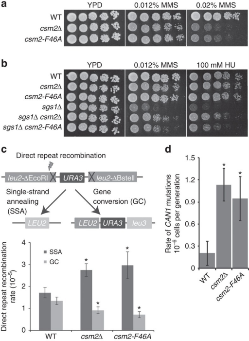 Impairment of homologous recombination by the csm2–F46A mutation.(a) csm2–F46A cells are as sensitive to MMS as a csm2Δ mutant. Cultures were fivefold serially diluted onto YPD medium with the indicated dose of MMS and incubated for 2 days at 30 °C. (b) Similar to csm2Δ, csm2–F46A alleviates the MMS and HU sensitivity of an sgs1Δ mutant. Cells of the indicated genotypes were fivefold serially diluted and tested for sensitivity to 0.012% MMS or 100 mM HU. (c) WT, csm2Δ or csm2-F64A cells harbouring a direct repeat HR reporter (leu2-ΔEcoRI::URA3::leu2-ΔBstEII) were tested for spontaneous rates of Rad51-dependent gene conversion (GC) and Rad51-independent single-strand annealing (SSA) as described16. The rates of GC are significantly decreased in both csm2–F46A and csm2Δ strains (P<0.01 by student's t-test) with a corresponding increase in SSA relative to WT strains (P<0.02 by student's t-test). S.d. are plotted as the error bars (n=3) and '*' indicates significance. (d) Like csm2Δ cells, csm2–F46A cells exhibit an elevated mutation rate in a canavanine mutagenesis assay. S.d. are plotted as error bars (n=5) and '*' indicates significance.