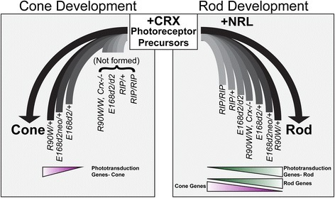 Model of how Crx mutation-caused gene expression changes affect rod and cone development. The left panel describes the formation of cones in a subset of the Crx mutants and variable levels of those cells' expression of phototransduction genes. The right panel shows how development of rods in all models is related to their gene expression changes. It also emphasizes the novel findings that Crx mutant rods display a graded phenotype of both the decreased expression of proper rod genes, and the mis-expression of cone genes