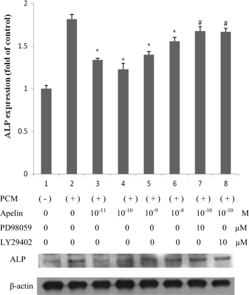 The effect of apelin on ALP expression. Human AVICs were induced with PCM containing apelin at different concentrations (0, 10 pM, 100 pM, 1 nM and 10 nM) as well as PD98059 (ERK inhibitor) and LY29402 (Akt inhibitor) for 14 days