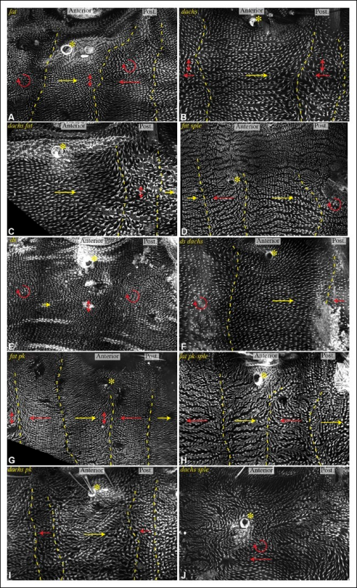 Influence of Ds-Fat PCP on hair polarity in abdominal pleura.Hair polarity in pleura revealed by F-actin (phalloidin staining) in ft8/ftG-rv (A), dGC13/d210 (B), dGC13 ft8/dGC13 ftG-rv (C), ft8 sple1/ftG-rv sple1 (D), ds36D/dsUA071 (E), dGC13 ds36D/dGC13 dsUA071 (F), ft8 pk30/ftG-rv pk30 (G), ft8 pk-sple14/ftG-rv pk-sple14 (H), dGC13 pk30 (I) and dGC13 sple1 (J) mutant animals. Yellow asterisk indicates the position of the spiracle. Yellow arrows indicate the region where hair orientation is normal, and red arrows indicate the region where hair orientation is disrupted. Dashed yellow lines mark approximate boundaries between regions with normal and abnormal polarity.DOI:http://dx.doi.org/10.7554/eLife.09946.017