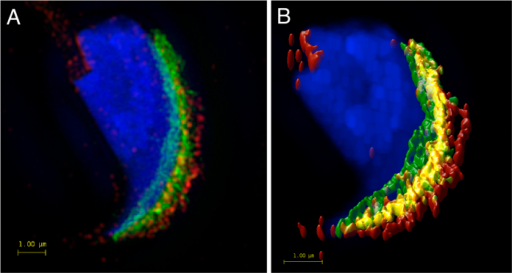 SIM super-resolution microscopy and visualization of mutual position of CD46 and β1 integrin.(A) SIM data show the localization of CD46 (green) on the inner and outer acrosomal membrane and β1 integrin (red) on the plasma and outer acrosomal and plasma membrane of the acrosomal area. Scale bar represents 1 μm. (B) SIM super-resolution image analysed by Huygens software, showing the colocalization area (yellow) of selected proteins in the outer acrosomal membrane. The colocalization map is based on Pearson's correlation coefficient. Scale bar represents 1 μm. DAPI (blue).