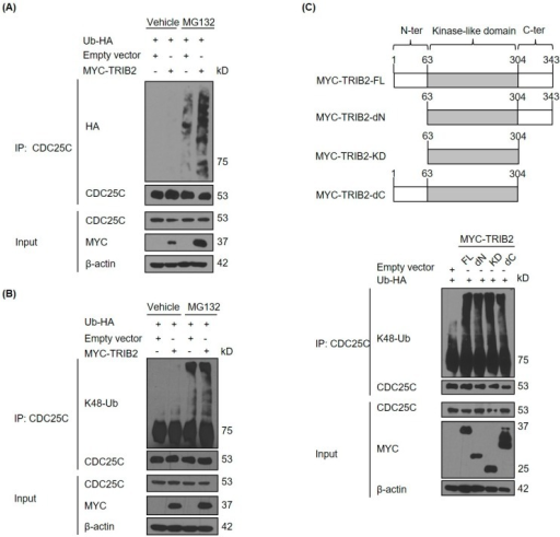 TRIB2 promotes K48-linked polyubiquitination of CDC25C. (A) Effect of overexpression of MYC-tagged TRIB2 on ubiquitination of endogenous CDC25C in HeLa cells. Effect of overexpression of (B) MYC-tagged TRIB2 wild type and (C) different mutants on K48-linked ubiquitination of endogenous CDC25C in HeLa cells. FL, full length; dN, N-terminal deleted; KD, only kinase domain expressed; dC, C-terminal deleted. For (A,C), all samples were treated with 10 µM of MG132 for 7 h prior cell lysis. Ub-HA, HA-tagged ubiquitin.