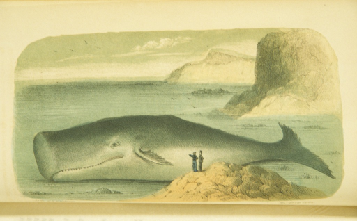 <p>Illustration of a beached sperm whale.  Two men stand on a rock formation facing the whale.</p>