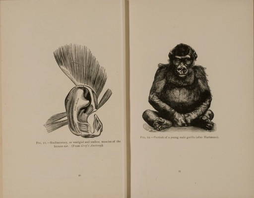 <p>Images of facing pages (p. 10-11) from Darwinism illustrated : wood-engravings explanatory of the theory of evolution / selected and drawn under the direction of Prof. George J. Romanes. Chicago : Open Court Pub. Co., 1892. P. 10 shows the anatomy of the human ear. P. 11 shows a young male gorilla.</p>