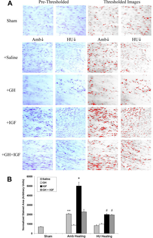 Significantly increased expression of type-I collagen in tissues from animals treated with IGF-I. (A: Left) Immunohistochemistry shows increased staining for type I collagen in ambulatory tissues when compared to Sham, while hindlimb unloaded tissues show no increase. In tissues from ambulatory and hindlimb unloaded animals treated with IGF-I type I collagen staining is increased. GH+IGF-I also results in increased collagen expression in unloaded tissues. (A: Right) Thresholded images utilized for quantitative analysis of expression. (B) Quantitative analysis of type I collagen expression. Ambulatory healing (Amb + Sal) tissue had significantly more collagen expression when compared to sham tissues (** p = 0.0002) while unloaded tissues did not. GH showed no significant increase between saline treated animals. Ambulatory IGF-I treated animals had significantly (*) increased type-I collagen protein expression (p = 0.0018) when compared to ambulatory animals treated with saline. Tissues from GH+IGF treated ambulatory and hindlimb unloaded animals had significantly (# p = 0.0006 and p = 0.0005, respectively) increased collagen expression when compared to hindlimb unloaded tissues given saline.