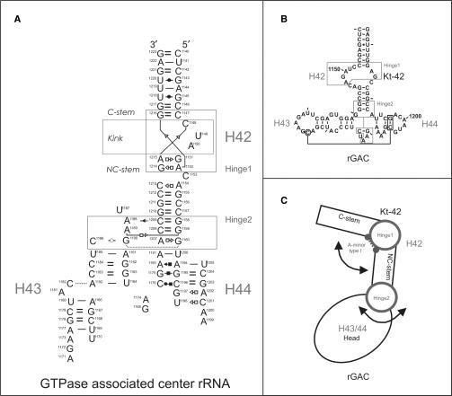Kt-42+rGAC rRNA system. (A) Base pairing in the simulated Kt-42+rGAC system (helices 42–44 from the 23S rRNA of H. marismortui) using standard nomenclature (54). The two flexible regions are marked as rectangles and the individual helices are marked as H42, H43 and H44. Strand connectivity is not highlighted to keep the figure readable. (B) Secondary structure of the Kt-42+rGAC. (C) Schematic representation of the Kt-42+rGAC showing its modularity with five consecutive segments (C-stem, Hinge1, NC-stem, Hinge2 and Head) with very distinct intrinsic mechanical properties and dynamics (see the text). Two flexible Hinges (circles) link three rigid segments (C-stem, NC-stem and Head). Arrows indicate the direction of preferred motions at both Hinges.