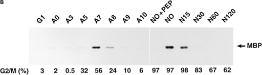 (A) Western blot analysis of IAK1 levels during the cell cycle. NIH 3T3 cells were blocked at various stages of the cell cycle by  serum starvation or treatment with aphidicolin or nocodazole. After release from block, cells were harvested at intervals to collect cells  at different stages of the cell cycle. Cell lysates prepared from 400,000 cells were then separated by SDS-PAGE and analyzed by Western blot analysis with the IAK1 antiserum. Cells were harvested 7 h after release from serum starvation (G1), 0, 3, 5, 7, 8, 9, and 10 h after release from aphidicolin block (A0–A10), and 0, 15, 30, 60, and 120 min after release from nocodazole block (N0–N120). The percentage of cells at G2/M phase of the cell cycle, as judged by propidium iodide staining and FACS® analysis, is shown below each lane.  (B) Activity profile of IAK1 kinase through cell cycle. NIH 3T3 cells at different stages of the cell cycle were collected as described in  Fig. 5 C. Cells were lysed, and in vitro kinase activity of IAK1 was determined in cell lysates using myelin basic protein as the exogenous  substrate as detailed in Materials and Methods. The percentage of cells in G2/M phase was determined for each sample by flow cytometry and presented for comparison.