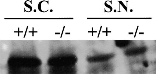 Western blot analysis revealed no difference in the expression of paranodin between the wild-type (+/+) and the mutant (−/−) mice in either the spinal cord (S.C.) or the sciatic nerve (S.N.).