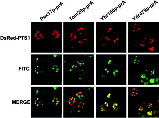 Yhr150p-prA and Ydr479p-prA are peroxisomal proteins by microscopy. The subcellular distributions of protein A chimeras were compared with that of DsRed–PTS1 in oleic acid– incubated cells by double labeling, indirect immunofluorescence microscopy. Yhr150p-prA and Ydr479p-prA colocalize with DsRed–PTS1 in punctate structures characteristic of peroxisomes. There is no colocalization of DsRed–PTS1 and the protein A chimera of the mitochondrial protein Tom20p. Protein A chimeras were detected with rabbit antibodies to mouse IgG and FITC-conjugated goat anti–rabbit IgG secondary antibodies.