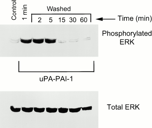 Sustained ERK phosphorylation requires the continuous presence of uPA–PAI-1 complex. MCF-7 cells were serum starved for 12 h and then pulse-exposed to 5 nM uPA–PAI-1 complex for 1 min at 37°C. Cultures were then processed for ERK analysis (1 min) or washed and incubated in fresh medium without uPA–PAI-1 complex for the indicated times. Control cells were not treated with uPA–PAI-1 complex. Phosphorylated and total ERK1 and ERK2 were detected by immunoblot analysis.