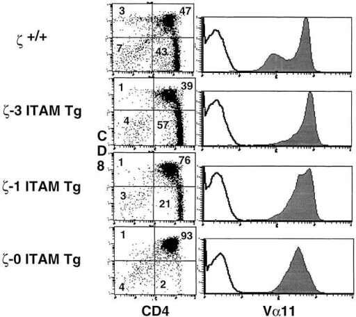 Positive selection in MHC class II–restricted α/βTCR transgenic mice. AND+/ζ−/− mice were generated by mating and then reconstituted with transgenes encoding either a full-length ζ chain (ζ-3 ITAM  Tg), a ζ chain containing a single (third) ITAM (ζ-1 ITAM Tg), or a ζ  chain that lacks ITAMs (ζ- 0 ITAM Tg). Data show immunofluorescence  and multicolor FCM analysis of thymocytes from adult H-2Db mice.  FCM was performed on cells stained with FITC-conjugated antibody  specific for the transgenic Vα chain (Vα11), anti-CD8–PE and antiCD4–biotin, followed by streptavidin–red 670. Two-color plots show  software-gated Vα11+ thymocytes. Numbers in the quadrants reflect the  percentage of total thymocytes in that quadrant. Single-color profiles  (solid lines) depict Vα11 staining on total thymocytes. Dotted lines reflect  staining with negative control antibody.