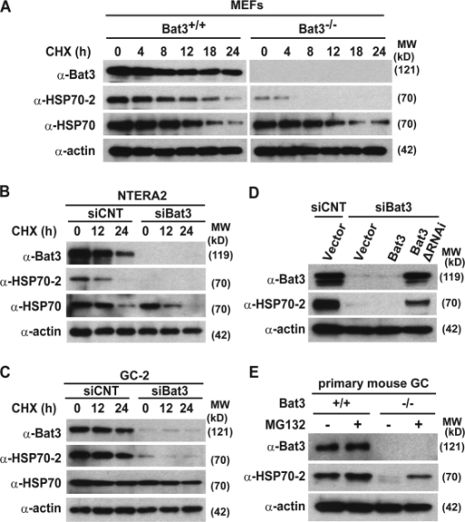 Bat3 is required for Hsp70-2 protein stability in multiple tissues. (A–C) Bat3, Hsp70-2, and Hsp70 protein levels were evaluated in Bat3+/+ and Bat3−/− MEFs (A), a human teratocarcinoma cell line, NTERA2 (B), and a mouse spermatocyte cell line, GC-2 (C), in the presence or absence of Bat3 with cycloheximide treatment for the indicated times (in hours). (D) Decreased Hsp70-2 protein stability induced by Bat3 KD was rescued by the RNAi-resistant Bat3 mutant (Bat3ΔRNAi). siCNT, control siRNA. (E) Hsp70-2 levels in primary Bat3-deficient male GCs were restored by proteasome inhibitor (MG132) treatment.