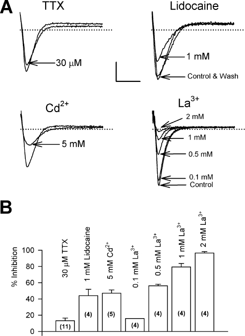Pharmacology of the diatom Na+ current.Peak Na+ currents were evoked by a voltage clamp pulse to −20 mV from a holding potential of between −100 mV and −90 mV before perfusion of various pharmacological agents. A) TTX had only a slight impact on the current even at relatively high concentrations and no effect of 1 µM STX was observed (n = 5, data not shown). The Na+ current was sensitive to block by lidocaine, Cd2+ and La3+ ions. In all cases the block was reversible (e.g. lidocaine) on washing out with fresh ASW. Scale bars indicate 10 nA and 5 ms and dotted line represents 0 nA. B) Summary of the effect of various Na+ channel antagonists on the peak sodium current in Odontella sinensis. Numbers of experiments and standard error bars are indicated for each treatment.