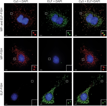 Simultaneous detection of individual mRNA molecules using MP-FISH and LNA-ELF-FISH. HeLa cells were engineered to constitutively express luciferase mRNA with 24 MS2 binding repeats in the 3′-untranslated region. Each MS2 site was hybridized by an oligonucleotide probe labeled at its 5′- and 3′-end with Cy3. In addition, the coding region of the luciferase RNA was labeled with a single dig-labeled LNA probe. The LNA probes were subsequently labeled with anti-dig-alkaline phosphatase conjugates and ELF signal amplification was performed. Two-dimensional, deconvolved images of the Cy3 fluorescence, ELF signal and a merged image are shown (top panel). Analogous studies were performed using just Cy3 probes (middle panel) or just LNA probes + ELF amplification (bottom panel). Scale bar, 5 μm.