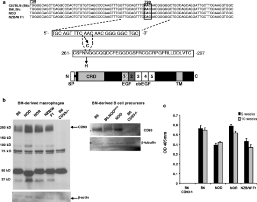 Identification of a coding polymorphism in the first EGF-like domain of Cd93 in NOD and NZB/W F1 mice. a The Cd93 gene was PCR amplified from genomic DNA. Sequencing revealed a point mutation at cDNA nucleotide position 790. The AAC→CAC codon change in NOD and NZB/W F1 mice led to an amino acid substitution in the first EGF-like domain of Cd93 at position 264. The first EGF-like domain in which the defined polymorphism resides is stippled. b Bone marrow macrophage lysates (left) were separated on an 8% SDS-PAGE under reducing conditions, transferred to PVDF, and probed with 5 μg/ml polyclonal anti-CD93 cytoplasmic tail Ab 1150 (black arrow). Isolated bone marrow B-cell lysate immunoblots (right) were probed with 0.1 μg/ml polyclonal anti-CD93 (anti-C1qR1). The blots were stripped and re-probed for β-actin or β-tubulin to control for similar protein loading. The blots are from one experiment, representative of two, using different animals as a source of bone-marrow-derived macrophages or B cells. c sCD93 is detected in sera from NOD and NZB/W F1 mice. Sera were diluted (1:50) and tested for the presence of sCD93 by sandwich ELISA. Shown is the average of triplicate wells (± SD) from one experiment, representative of two, using different animals as a source of sera