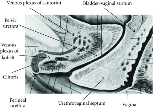 The Clitoris The Pelvic And Perineal Urethra And The Open I