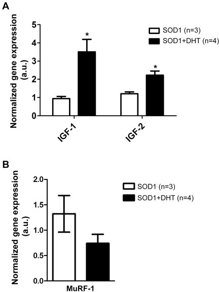 DHT increases the expression of insulin-like growth factor -1 and -2, while decreases MuRF-1 expression.A: The TA muscles were collected from DHT-treated SOD1 and control SOD1 mice at P120 to check the expression of insulin-like growth factor (IGF) -1 and IGF-2 through quantitative RT-PCR. DHT-treated SOD1 mice showed increased expression of IGF-1 and IGF-2, by approximately 4-fold (p = 0.0261), and 2-fold (p = 0.015), respectively, compared with control SOD1 mice. *p<0.05. B: By using quantitative RT-PCR, we found that DHT-treated SOD1 mice showed a trend of decreased expression of MuRF-1 by 44% compared with control SOD1 mice (p = 0.198).