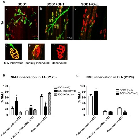"DHT ameliorates denervation at neuromuscular junctions SOD1 mice.SOD1/YFP double transgenic mice expressing yellow fluorescence protein (YFP) in all motor nerves were implanted with either a DHT-filled or an empty silastic tube, or orchidectomized at P75, and the TA muscle and the diaphragm (DIA) muscle were collected at P120, and stained with anti-α-bungarotoxin to label post-synaptic acetylcholine receptor (AChR) clusters. A: When a pre-synaptic nerve terminal (in green) fully overlaps with the post-synaptic AChR clusters (in red), the neuromuscular junction (NMJ) is defined as a ""fully innervated NMJ"" (d). However, if a nerve terminal is partially overlapped with AChR, or is completely absent, leaving only AChR, the NMJ is defined as a ""partially innervated NMJ"" (e) or a ""denervated NMJ"" (f), respectively. DHT-treated SOD1/YFP mice (b) showed improved NMJ innervation in the TA muscle compared with control SOD1/YFP mice (a). However, orchidectomy in SOD1/YFP mice aggravated denervation at NMJs (c). B: Quantification of NMJs at P120 in the TA muscle of DHT-treated, control, and orchidectomized SOD1/YFP mice is shown. Compared to control SOD1/YFP mice, which showed 22.3±5.7% of fully innervated NMJs, DHT-treated SOD1/YFP mice showed 47.3±14.1% of fully innervated NMJs. Orchidectomized SOD1/YFP mice showed only 9.6±3.4% of fully innervated NMJs. C: Quantification of NMJs at P120 in the DIA muscle of DHT-treated, and control SOD1/YFP mice is shown. Compared to SOD1/YFP mice, which showed 65.2±5.6% of fully innervated NMJs, DHT-treated SOD1/YFP mice showed 81.0±5.5% of fully innervated NMJs. Data are mean ± SEM. *p<0.05."