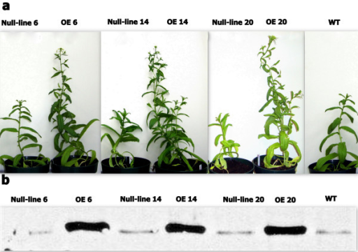 Growth phenotype of transgenic Camelina at day 40. a, All three OE lines produced more branches, grew faster, and flowered earlier than the WT and -lines. b, Expression of AtPAP2 in OE lines was confirmed by Western blotting using AtPAP2-specific antibodies. OE lines had higher expression of AtPAP2, while there was a homologous protein of AtPAP2 in Camelina.