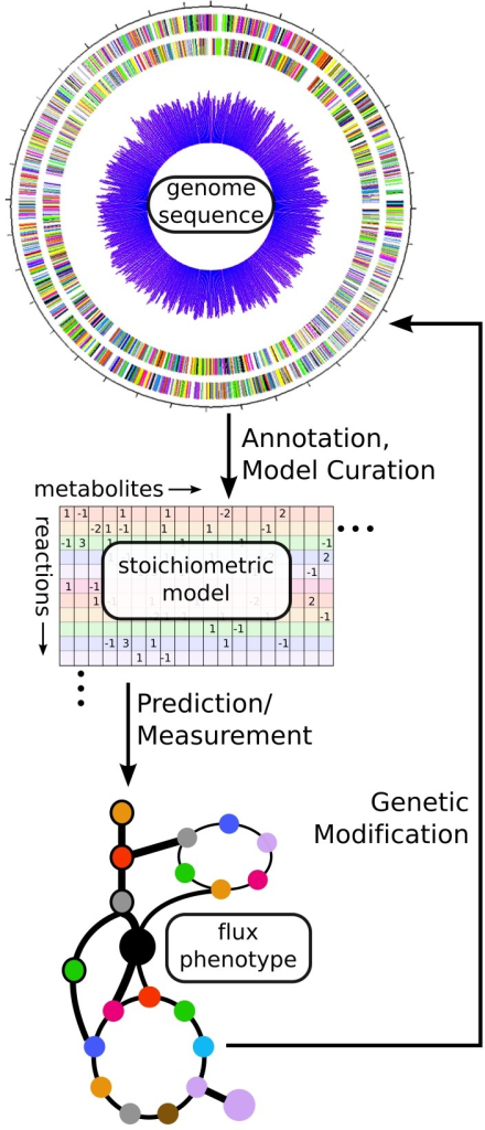 Using fluxomics and genome scale models to link genotype to metabolic phenotype. From an annotated genome sequence, a stoichiometric model of metabolism can be constructed. That model can be solved via either prediction of an optimal flux phenotype (FBA) or measurement of actual flux phenotype (13C-MFA). These results can help suggest modifications for altering the phenotype of the cell in a desired manner. In this way, a synthetic biologist can design new strains, build them using genetic modification methods, and test their phenotypes before designing new modifications in an iterative fashion.