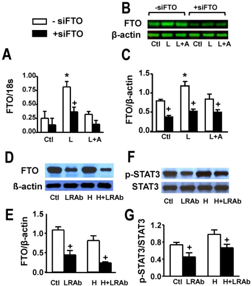 Identification of FTO in cardiomyocytes and cardiac tissue and evidence for its upregulation by leptin.Panel A shows FTO gene expression in cultured rat ventricular myocytes under control conditions (Ctl) and its stimulation by leptin (L) and lack of effect in the presence of the leptin receptor receptor antagonist SHLA (A). Panels B and C show Western blots and their quantitative analyses with identical treatments as shown in panel A. These panels also show suppression of FTO in myocytes transfected with FTO siRNA. Panels D and E demonstrate Western blots and their quantitative assessment of whole hearts from control animals or animals fed a high fat diet (H) for 12 weeks. The results also show suppression of cardiac FTO protein expression in animals treated with an antibody directed against the leptin receptor (LRAb) every two days during the feeding period. Panels F and G show identical treatments as for panels D and E demonstrating inhibition of STAT3 phosphorylation in hearts of animals treated with the LRAb. Quantitative data are presented as mean+SEM. N = 8 for myocyte data in panels A and C and N = 5 for data shown in panels E and G. *P<0.05 from respective control group (or H group in panels E and G); +P<0.05 from respective group in the absence of siFTO (-siFTO).