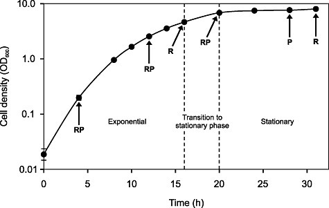 Growth curve of L. rhamnosus GG in whey medium at 37°C at pH 5.8. Cell density values represent the mean of four individual pH‐controlled bioreactor cultivations, and error bars represent the standard deviation. RNA samples were taken at five different time points representing mid‐exponential, late exponential, stationary transition point, early stationary and late stationary phases, while protein samples were collected at four different time points (the same as the RNA sampling phases, excluding the stationary transition point). The time points at which the RNA (R) and protein (P) samples were taken are indicated by arrows.