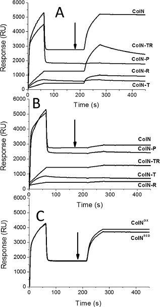 SPR reveals ColN‐R is responsible for LPS binding. Histidine‐tagged ColN domain combinations (500 nM) were injected for 60 s at a flow rate of 5 μl min−1 over a Ni2+ charged NTA chip at 0 s followed as indicated by black arrows by either (A) 100 μM Rc LPS, (B) 100 μM Rd LPS for 60 s or (C) ColN(V94C/Q179C) in either an oxidized (ColNOX) or a reduced (ColNRED) state was used. Large drops in signal after ColN construct injections are due to buffer effects. The subsequent differences the quantity of bound material reflected in the different RU values after the binding of different ColN constructs largely correlate with the different masses of the constructs, e.g. ColN 42, ColN‐P 21.5, ColN‐TR 20.5, ColN‐R 11.5 and ColN‐T 9 kDa. The relatively high value for ColN‐T may reflect the denser packing possibly with a natively disordered domain.