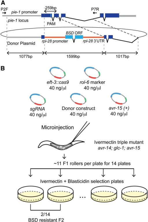 A blasticidin-resistance marker to select pie-1 knockout mutants. (A) Schematic of the Cas9/sgRNA target sequence and an HR donor plasmid in which a heterologous blasticidin-resistance (BSD) gene replaces a region of pie-1 and is flanked by 1-kb homology arms. The BSD gene is under the control of the rpl-28 promoter (568 bp) and 3′-UTR (568 bp). (B) Schematic of the blasticidin selection strategy to precisely delete the pie-1 gene. pie-1a sgRNA was co-injected with the Cas9 expression vector, the rol-6 transformation marker, the pie-1∆::BSD donor construct, and the pCCM416::Pmyo-2::avr-15(+) counterselection vector. The indicated number of F1 rollers was transferred to the plates containing 2 ng/ml ivermectin to select against the extrachromosomal array and 100 μg/ml blasticidin to identify BSD knock-in lines. We identified two plates with resistant, fertile adults among 14 plates, 3–4 days after transferring animals.