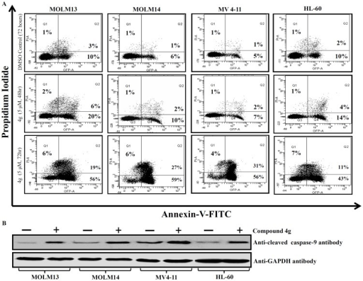 Compound 4g induces apoptosis of AML cells in a time-de