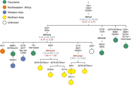 Phylogenetic tree of haplogroup HV1a1. Designations are as in Figure 2.