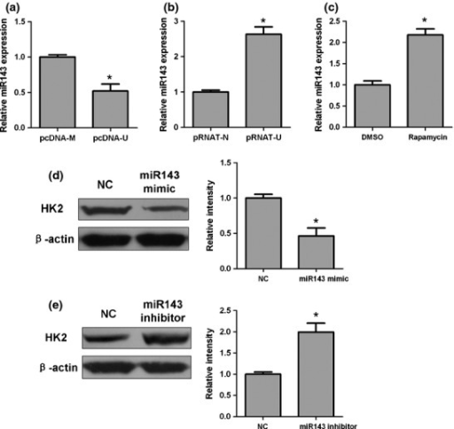 Long non-coding RNA UCA1 suppresses microRNA143 (miR143) to elevate hexokinase 2 (HK2) protein level in stable bladder cancer cells. (a, b, c) Quantitative PCR analysis of miR143 expression in UMUC-2 cells transfected with pcDNA3.1/UCA1 (pcDNA-U) or pcDNA3.1/Mock (pcDNA-M) plasmids and 5637 cells transfected with pRNAT-U6.1/Neo-shUCA (pRNAT-U) and pRNAT-U6.1/Neo-Nc (pRNAT-N) plasmids. (a) Overexpression of UCA1. (b) Knockdown of UCA1. (c) pcDNA-U cells were treated with rapamycin or DMSO. (d, e) Western blot analysis of HK2 protein level in stable cell lines. (d) pcDNA-U cells were transfected with miR143 mimic or negative control (NC). (e) pRNAT-U cells were transfected with miR143 inhibitor or NC. The average values ± SD of three separate experiments were plotted. *P < 0.05.