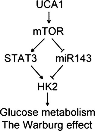 Schematic representation of the mechanism for UCA1-regulated metabolic switch. HK2, hexokinase 2; miR143, microRNA143.