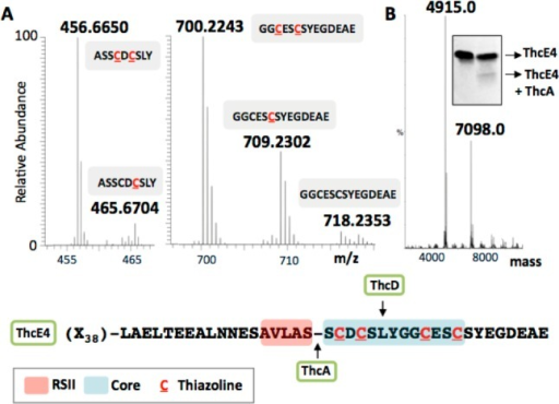 Biochemical characterizationof thc pathway enzymes.(A) ThcE4/ThcD: FTMS spectra of chymotryptic digests ASSCDCSLY andGGCESCSYEGDEAE of ThcE4 modified by ThcD. Each [M+2H]2+ mass peak corresponds to the peptide sequence given in a gray box,and a heterocycle PTM is indicated by a C (inred) within the sequence. (B) ThcE4/ThcA: Deconvoluted ESI-MS spectrumof the ThcE4/ThcA reaction. The [M-H]− mass peak7098.0 Da is unmodified ThcE4 (His-tag removed) and 4915.0 Da correspondsto the leader after ThcA proteolysis at the AVLAS RSII site. The insetshows SDS-PAGE visualization of the same reaction, where the leftlane is ThcE4 only and the right lane is ThcE4 in presence of ThcA.The smaller band in the right lane indicates the ThcA cleaved product.A schematic representation of results is shown where (X38) represents the 38-residue leader sequence before RSI, RSII (red)and core (blue) sequences.