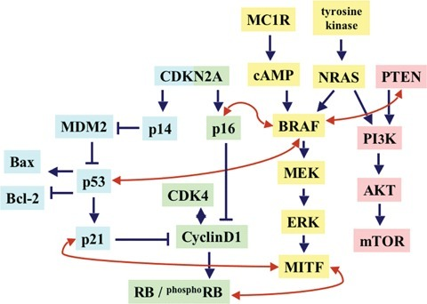 Molecular pathways involved in melanomagenesis. The proteins have been ordered according to their position into the functional molecular cascade. Straight arrows and barred lines (in blue) indicate induction and inhibition, respectively; bent arrows (in red) indicate interaction between the different pathways.