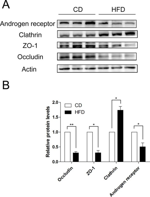 HFD-induced androgen receptor, clathrin, ZO-1 and occludin expression changes in mice.(A) Western blot analyses of androgen receptor, clathrin, ZO-1 and occludin expression levels in testicular protein from CD and HFD mice. (B) Summary plot showing densitometric readings of the corresponding protein blots. Data are expressed as mean ± SEM. *P<0.05, **P<0.01.