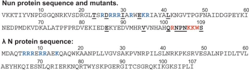 The sequence of Nun and N proteins. Blue—residues of ARM motif. Red—Residues with arrest-deficient phenotype. Underlined—other mutations affecting Nun activity.