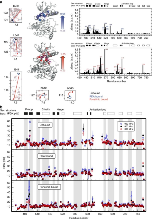 NMR analysis of structural and dynamic perturbations to FGFR1 kinase onbinding of type I and type II inhibitors.(a) Backbone amide chemical shift perturbation (CSP) analysis onligand binding. Weighted CSPs were calculated asΔδave=(Δδ2(N)/50+Δδ2(H)/2)1/2between unbound and PDA complex (top right panel), and between unbound andponatinib complex (bottom right panel). The CSPs >0.25 for the twocomplexes are mapped on the X-ray crystal structure of unbound FGFR1(PDB-code: 1FGK). Solid bars represent regions of β-strandsecondary structure, open bars regions of α-helical secondarystructure. Selected regions of overlayed1H-15N TROSY-HSQC plots of representativeamino acids in the αC-β4 loop and D735 in the distalαH helix are shown in small panels (left, bottom). The contourplots are colour coded as follows: unbound (black); PDA bound (blue);ponatinib bound (red). Arrows of the corresponding color connect the sameresidue in different spectra. (b) Analysis of chemical exchangecontributions to transverse relaxation rates (R2,ex)measured for ligand-free (top), PDA-bound (middle) and ponatinib-bound(bottom) FGFR1 kinases at static fields of 600 MHz (black),800 MHz (red) and 950 MHz (blue circles), reflectingmotions on time scales >100 μs.