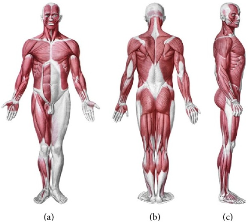 The myofascial system. Anatomical interactions between | Open-i