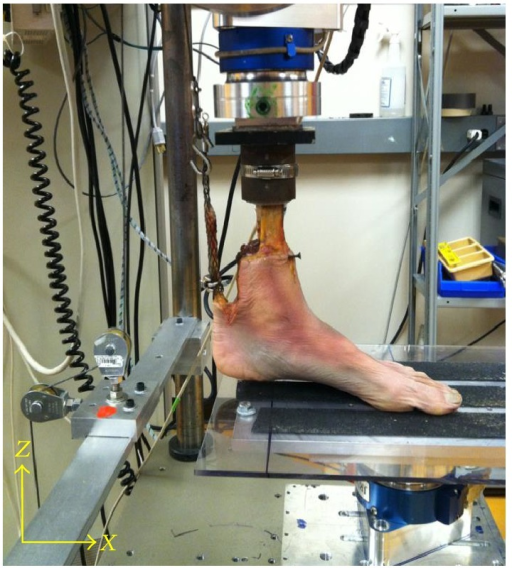 Specimen mounted in the RTP. This image shows clearance between the heel and X-Y table as the AT load is applied, allowing unconstrained arch formation.