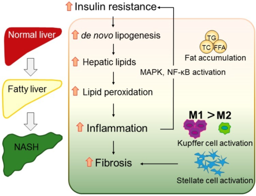 Hypothetic mechanism of nonalcoholic fatty liver disease/nonalcoholic steatohepatitis (NAFLD/NASH) progression. Excessive intake of excess calories and fat results in accumulation of triglycerides, total cholesterol, and free fatty acids, inducing hepatic steatosis. The overload of liver lipids enhances lipid peroxidation, which induces the production of reactive oxygen species and steatohepatitis. Hepatic inflammation activates the mitogen-activated protein kinase pathway and nuclear factor-κB, resulting in insulin resistance. Insulin resistance also promotes de novo lipogenesis, forcing the healthy liver to develop NASH. The inflammation also recruits Kupffer cells and polarizes M1 macrophages, activating hepatic stellate cells and finally leading to liver fibrosis. TG, triglycerides; TC, total cholesterol; FFA, free fatty acids; MAPK, mitogen-activated protein kinase; NF-κB, nuclear factor-κB.